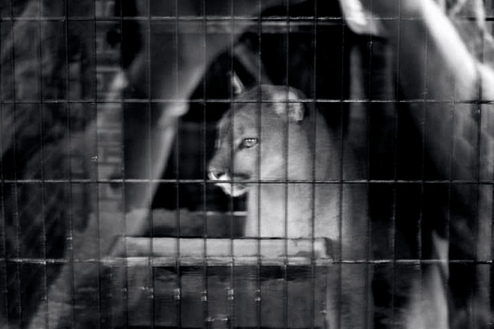 puma au zoo de Maubeuge, © photo dominique houcmant