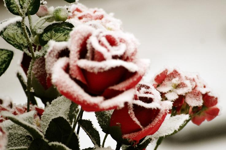 rose rouge, fleurs artificielles, photo dominique houcmant, goldo graphisme
