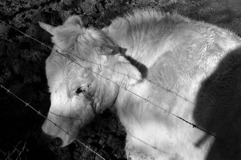 photo de vache qui pleure, photo dominique houcmant, goldo graphisme