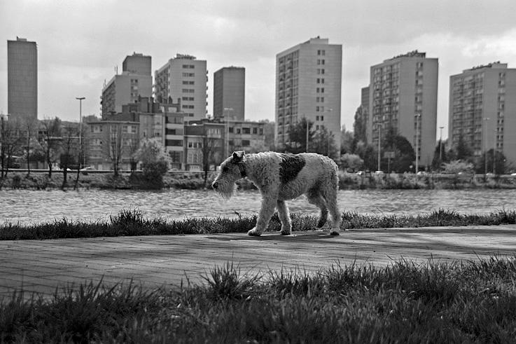 photo de fox-terrier à poil dur, bord de Meuse Liège, coronmeuse - droixhe, photo goldo graphisme