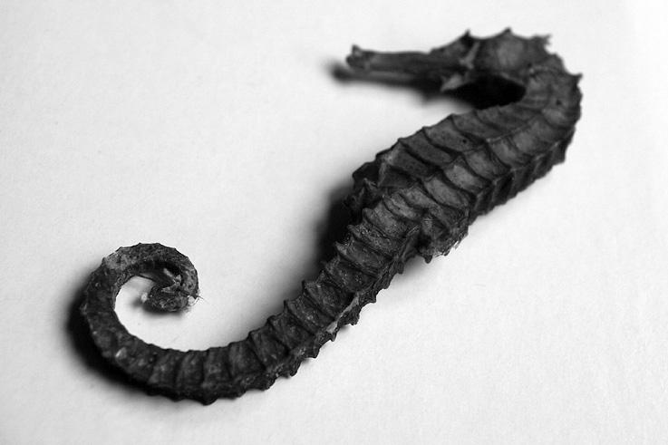 hippocampe, hippocampus, poisson, cheval de mer, seahorse, fish, image, illustration, photo dominique houcmant, goldo graphisme