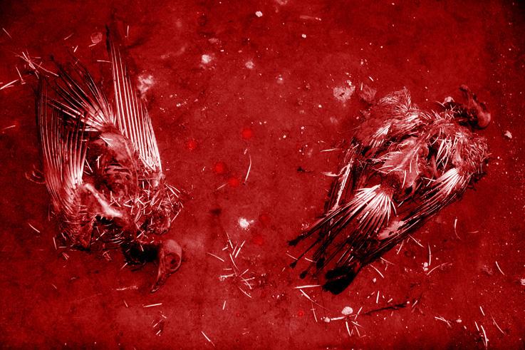 la mort des amants, The Death of the Lovers, carcasses de deux pigeons morts, photo dominique houcmant, goldo graphisme