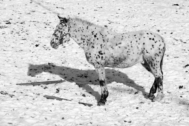invisible, cheval blanc sur fond blanc, white horse on white field, snow, neige, photo dominique houcmant, goldo graphisme