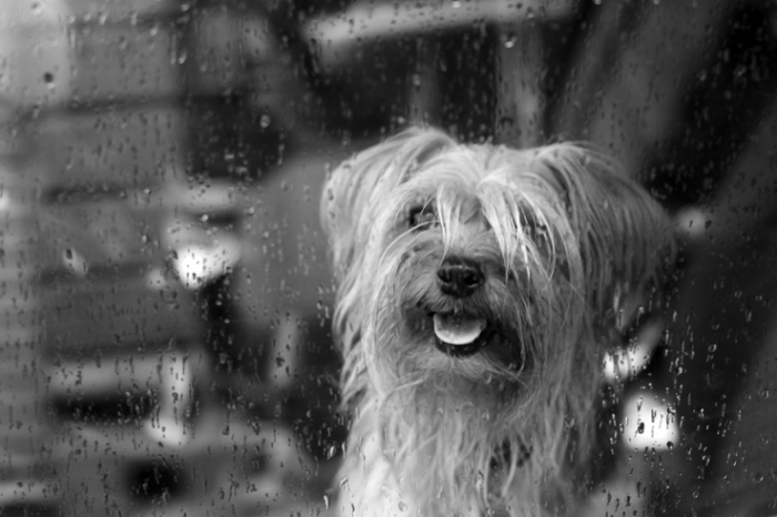 chien, vitrine, vitre, pluie, dog, foto, photo dominique houcmant, goldo graphisme