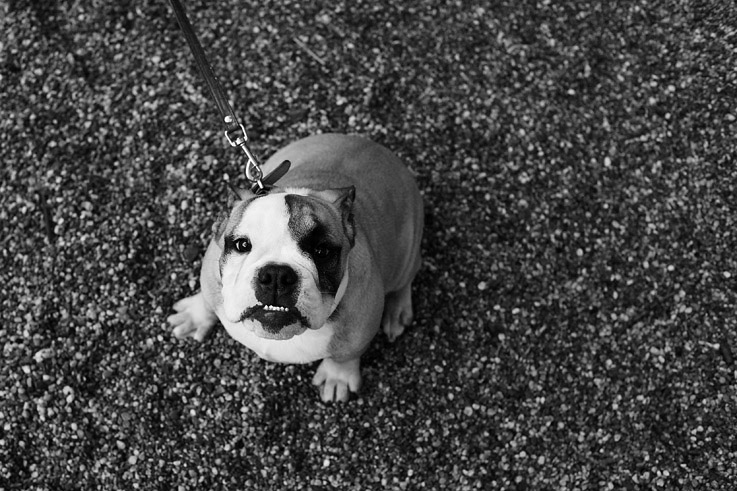 english bulldog anglais, photo dominique houcmant, goldo graphisme