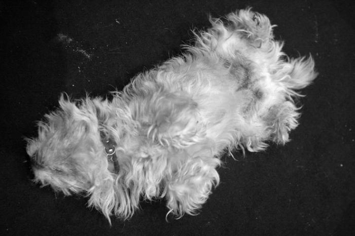 chien blanc, bichon maltais, maltezer, maltese, bichon, photo dominique houcmant, goldo graphisme