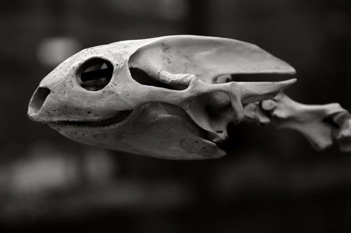 crâne de tortue, turtle skull, Gymnopus Javanicus; Trionyx stellatus, Amyda cartilaginea, aquarium museum dubuisson, liège, © photo dominique houcmant
