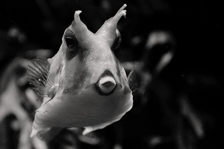 Lactoria cornuta, Poisson vache à longues cornes, Longhorn cowfish, aquarium museum dubuisson, liège, © photo dominique houcmant