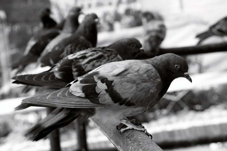 pigeon à la queue leu leu, oiseau, bird in single file, photo dominique houcmant, goldo graphisme
