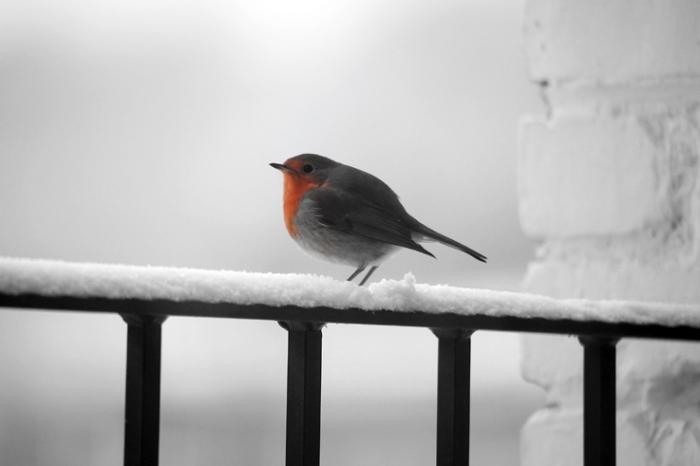 rouge-gorge dans la neige en hiver, oiseau, robin red breast bird in the snow, winter, photo dominique houcmant, goldo graphisme