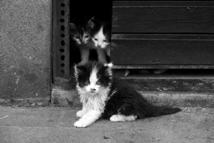 3 chatons, chat hirsute, kitten, kitty, shaggy cat, © photo dominique houcmant