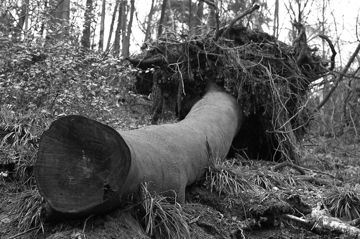 arbre déraciné, uprooted tree, roots, racines, © photo dominique houcmant