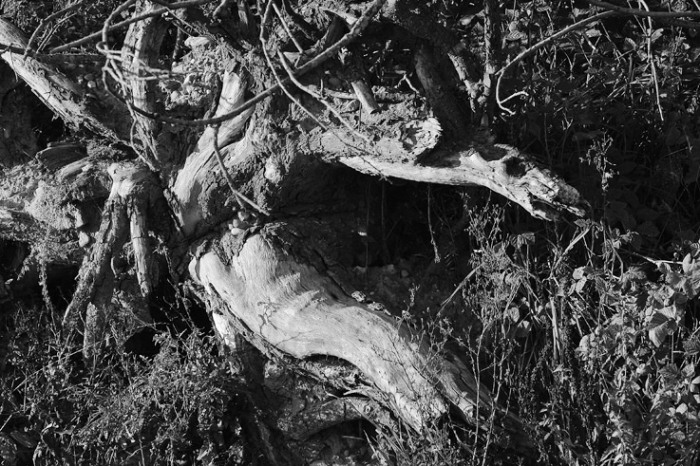 silhouette de dragon dans une souche d'arbre, dragon face in a tree stump, photo dominique houcmant, goldo graphisme