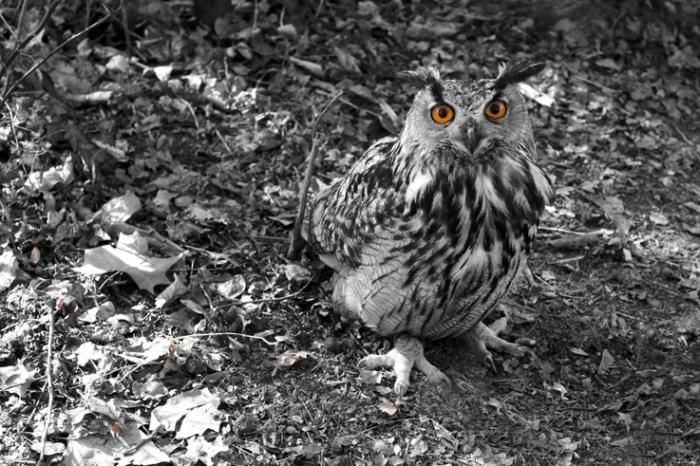 hibou grand duc, bubo bubo, Eurasian Eagle-Owl, photo dominique houcmant, goldo graphisme