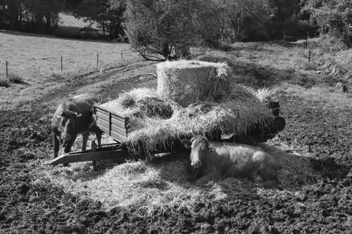 chariot à paille, vaches, cows, The straw wagon, photo dominique houcmant, goldo graphisme