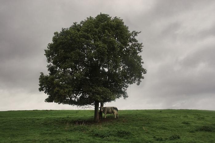 vache sous un arbre isolé, ciel d'orage, caw under a solitary tree, stormy sky, photo dominique houcmant, goldo graphisme