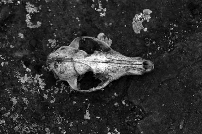 crâne de chien, dog skull, photo dominique houcmant, goldo graphisme