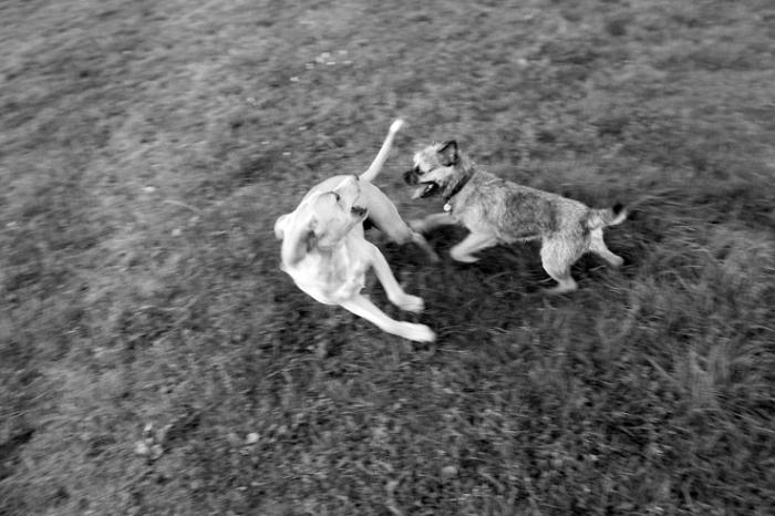 combat de chien, dogs fight, photo dominique houcmant, goldo graphisme