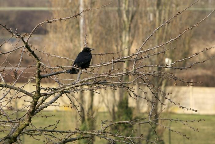corneille noire, Corvus corone, Carrion Crow, oiseau, bird, photo dominique houcmant, goldo graphisme