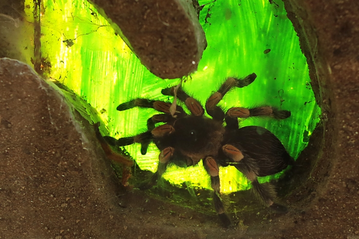 vivarium, araignée, mygale, brachypelma, Tarantula, spider, © photo dominique houcmant