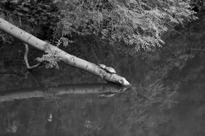 tortue, Trachemys scripta elegans, Tortue de Floride, turtle, red-eared slider, canal de l'ourthe liège, © photo dominique houcmant